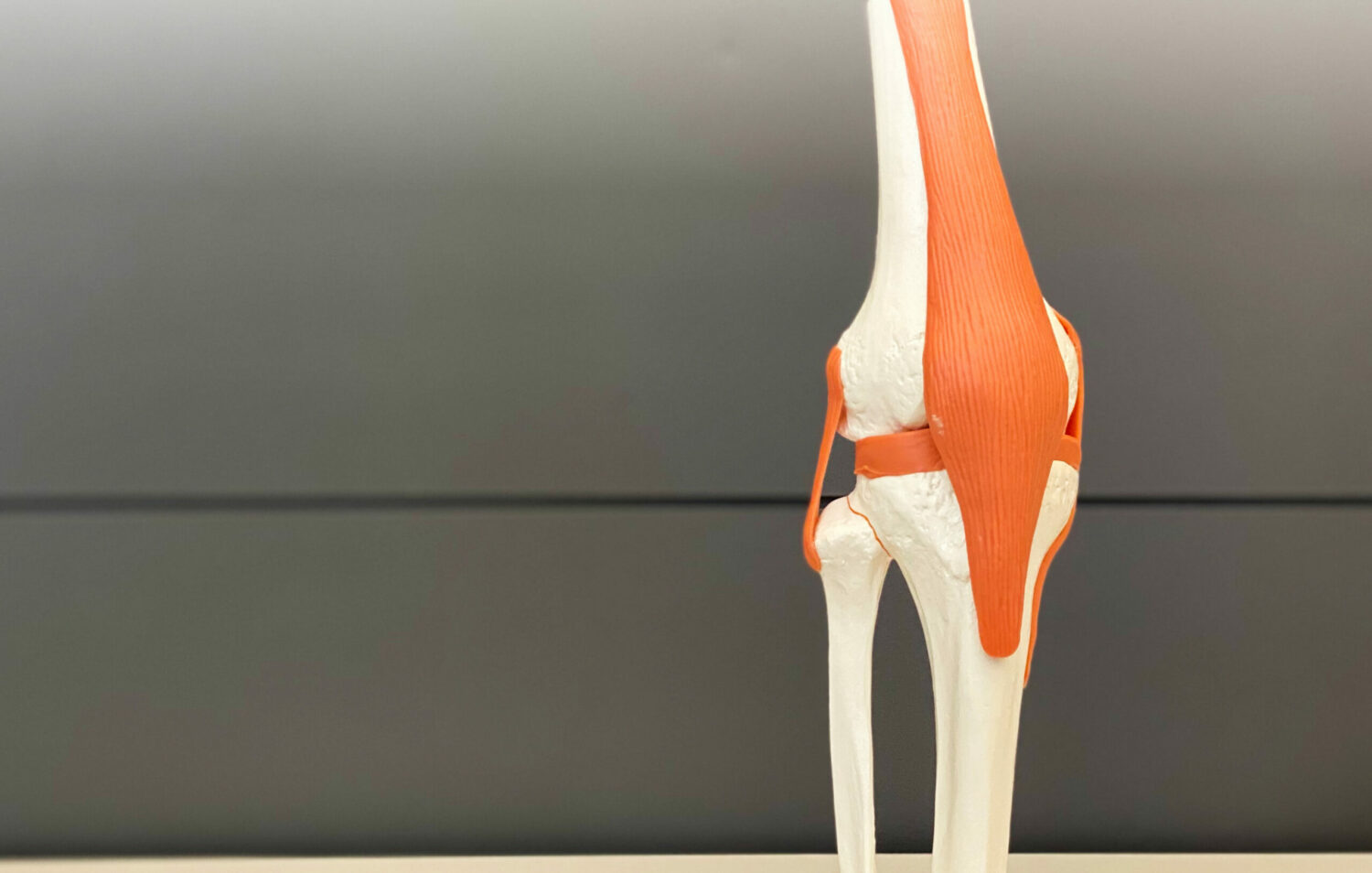 anatomical model of a knee joint