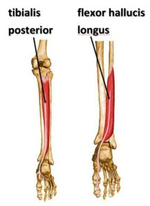 anatomy of tibialis posterior and flexor hallucis longus